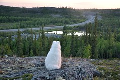 Ingraham Trail [Flickr Explored #272 on August 10 2013] (nwtarcticrose) Tags: samoyed nwt explore quinn yellowknife ingrahamtrail 6000views explored 40faves nikond90 40favourites northwestterritoires