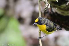 Euphonia laniirostris - Juvenil (Daniel Avendaño) Tags: birds aves pereira euphonialaniirostris