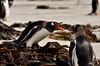 Falkland Island dispute (mbleke) Tags: beach animals pengin falklandisland gentoopengin wildpenguin