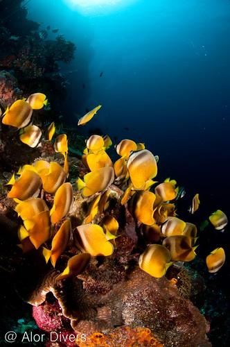 wall dive pantar island. alor-divers.com