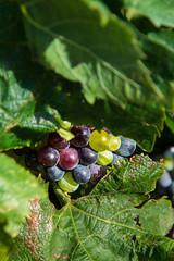 Le fruit (Collabois) Tags: tree nikon olive vine vert vin vignes grape raisin chemin olivier olivetree hérault terroir d600