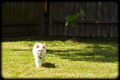 Diesel at 16 weeks old (Craig Jewell Photography) Tags: cute cat iso100 kitten diesel fluffy australia 85 ragdoll redpoint 16weeks flamepoint f32 2013 ef85mmf18usm 0ev sec canoneos1dmarkiv filename20130922122715x0k0491cr2
