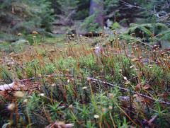 Frauenhaarmoos (volkersworld) Tags: deutschland hessen natur landschaft wald taunus badhomburg 2013