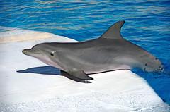 IMGP0575  (rum_den_1986) Tags: dolphin orca dauphin antibes marineland orque