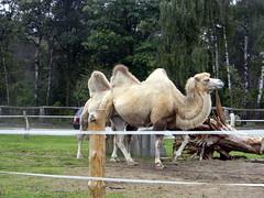 Camel Hollywood safari park Germany 22nd September 2013 22-09-2013 08-38-46 (Ian Dennis) Tags: park germany september safari camel hollywood 22nd 2013 083846 22092013