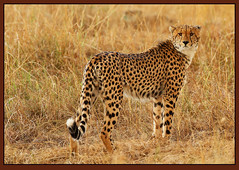 Dawn Patrol! (Rainbirder) Tags: kenya cheetah maasaimara acinonyxjubatus rainbirder