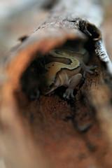 il timido gecko (boze610 [ GRocca Photo ] ( travel and nature )) Tags: travel camping tree nature animal animals branch reptile australia natura lizard backpacking wa gecko albero ramo viaggio westernaustralia reptiles selvatico timid lucertola naturalmente rettile timido rettili wildilife canoneos400d salvatici