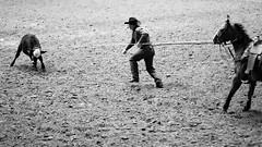 Bringing Him Down (Thomas Hawk) Tags: bw horse usa cow cowboy texas unitedstates unitedstatesofamerica rodeo dfw fortworth fav10 fav25 fortworthstockshowrodeo fortworthstockshowandrodeo dmudallas012011