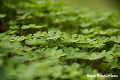 Luck field (sapoproductions) Tags: espaa field murcia campo shamrock trebol treboles bancal regindemurcia vinagrillos