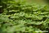 Luck field (sapoproductions) Tags: españa field murcia campo shamrock trebol treboles bancal regióndemurcia vinagrillos
