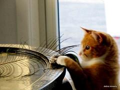 playing with feathers (damselfly58) Tags: playing cat ginger furry feline funny chat feather gatos gatti catfunnyfurryfelinegingerplayingchatgatosgatti