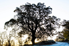 Old Ridge Route / Quail Lake Tree 2 (SteveWillard) Tags: california mountain canon landscape desert zoom telephoto socal southerncalifornia ecofriendly gorman lightroom zoomlens adobelightroom canonef24105mm telephotozoom 60d quaillake canon60d tumblr stevewillard lightroom52