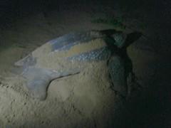 p5281033_v1 (Mr. Pi) Tags: france beach animals turtle reptiles frenchguiana