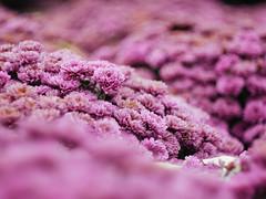 (BurlapZack) Tags: dallastx dallasarboretum pumpkinvillage pumpkinfest vscofilm panasoniclumixdmcgf1 helios44m58mmf2 legacyglass m42 manualfocus flowers pink bokeh cliche screwmount thriftstorelens microfourthirds