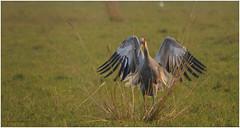 _MSN8531-2ab_Sarus crane (Swaminathan.M) Tags: india nature birds crane wildlife bharatpur rajastan sauruscrane sigma150500