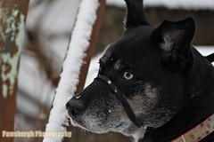 Winter Around Pittsburgh (Pawsburgh Photography) Tags: winter dog snow mutt husky pittsburgh shepherd blacklab labradorretriever rescuedog