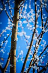 Frost (TimSamuelson) Tags: christmas blue tree beautiful 50mm lights nikon frost bokeh north nd f18 18 dakota fargo