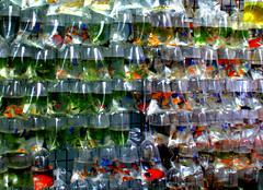 HONG KONG, le marché aux poissons (Gilles Robveille.) Tags: fish market hong kong flikr marché gilles kok poissons mong robveille gillesrobveille