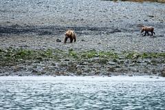 _MG_4227a (markbyzewski) Tags: alaska cub ugly brownbear grizzlybear glacierbaynationalpark