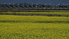 P1010417_Chihshang (Mark Kao - Thanks for 1,300,000 views) Tags: flowers taiwan 台灣 台東 taitung rapeseed 油菜花 池上 mygearandme mygearandmepremium mygearandmebronze mygearandmesilver infinitexposure