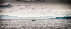 Silent running (Ian Latham) Tags: west coast holidays bc nik whales onone