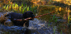 Tilde 14 (Ohrni) Tags: dog nature water play boxer stick fetch