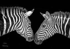 Two Zebras Touching Noses at Maasai Mara, Kenya (stevebfotos) Tags: zebras maasaimara fauna kenya bw monochrome highcontrast topaz narokcounty ke