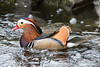 Mandarin (Shane Jones) Tags: mandarinduck mandarin duck wildfowl wildlife nature bird nikon d500 200400vr tc14eii