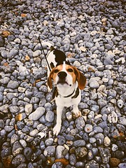 Something smells good (jasminefisher1) Tags: whippet beagle playful stones beach puppy dog