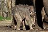 Its a girl ! (K.Verhulst) Tags: elephant elephants olifanten aziatischeolifant asiaticelephants amersfoort dierenparkamersfoort yunha