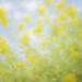 Canola Flower #1