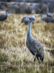 IMG_3532 (BarArt Photographie) Tags: sandhillcranes cranes montevista colorado mountains blueskies wildlife nature outdoors naturephotography barartphotographie refuge migration