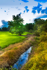 Paddy Field South East Asia (wanamirul1) Tags: kelantan kg panggung sawah padi rice field paddy village machang sea hen malaysia asia potrait animals animal countrylife pulai chondong