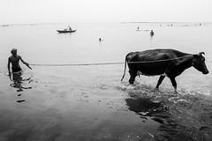 Nazirganj (Extinted DiPu) Tags: river photography lifestyleofbangladesghipeople lifestyle lifescape canon canon700d 1855 18mm water monochrome cow dailylife bangladesh padma peopleofpadma blackandwhite