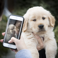 """All right, Mr. DeMille, I'm ready for my close-up."" (Russ Beinder) Tags: goldenretreiver nugget cute dogs iphone puppy purebred exif:focallength=105mm exif:aperture=ƒ80 exif:make=nikoncorporation geocity geostate exif:model=nikond810 exif:lens=7002000mmf28 exif:isospeed=800 geolocation geocountry camera:model=nikond810 camera:make=nikoncorporation 70200mmf28 1"