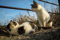 Nokogiri mountain / Canon EOS60D:SIGMA 17-50mm F2.8 EX DC OS HSM (telenity) Tags: japan tateyama nokogiri mt canon cat cute 日本 館山 鋸山 鋸南町 猫 可愛い
