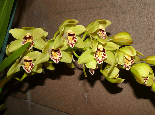 photographed at the 2017 pacific orchid & garden exposition, Cymbidium hybrid orchid