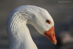 Profile of a white duck (BesimIbrahimii) Tags: duck white whiteduck bird animal animals macro closeup portrait nature outdoor eyes