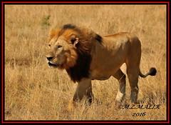 KING OF THE JUNGLE (Panthera leo)....MASAI MARA......SEPT,2016 (M Z Malik) Tags: nikon d3x 200400mm14afs kenya africa safari wildlife masaimara keekoroklodge exoticafricanwildlife exoticafricancats flickrbigcats lionking leo ngc npc