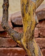 Branch with Bricks (brev99) Tags: d7100 sigma1770os bokeh blur photoshopelements12 topazdetail topazdenoise perfecteffects17 ononesoftware tree bricks branch tulsagardencenter
