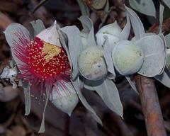 Eucalyptus macrocarpa ssp elachantha, Kings Park, Perth, WA, 30/12/16 (Russell Cumming) Tags: plant eucalyptus eucalyptusmacrocarpa eucalyptusmacrocarpaelachantha myrtaceae kingspark perth westernaustralia