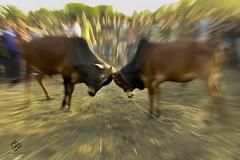 Bull Fight (smileofafairy) Tags: bangladesh bullfight bull fight reportage zoom burst canon