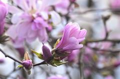 Magnolia (careth@2012) Tags: magnolia flower nature petals spring