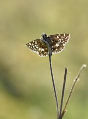 Grizzled Skipper (Pyrgus malvae) (Bob Eade) Tags: butterflies grizzledskipper butterfly skipper spring eastsussex southdownsnationalpark macro nature nikon sussex wildlife downland