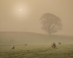Easter (Glenn D Reay) Tags: fog foggy landscape mist tree sun sheep lambs atmospheric early morning pentaxart pentax k30 sigma1770hsm glennreay