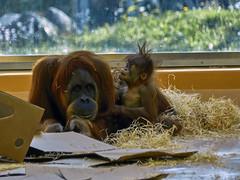 Mutterfreuden (Helmut Reichelt) Tags: mutterfreuden orangutan kind nachwuchs april frühling münchen zoo tierpark hellabrunn oberbayern bavaria deutschland germany panasonic lumix fz200 captureone10 colorefexpro4