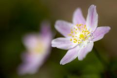 Empourprée (Fabien Husslein) Tags: anemone nemorosa sylvie rose fleur flower spring printemps macro bokeh nature art couleur colour bois wood