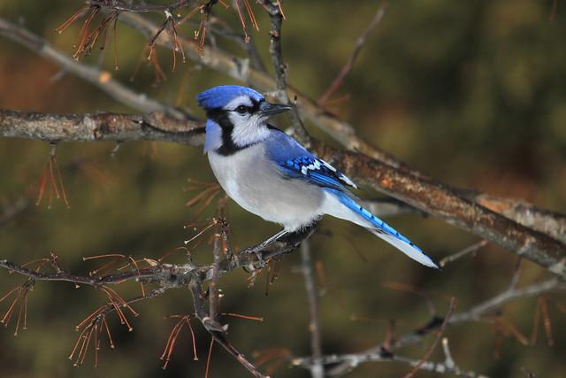 Blue Jay / Geai Bleu
