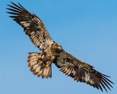 Open Wide... (ragtops2000) Tags: baldeagle juvenile migrating overhead wingspan colors markings intense eye exciting gliding raptor stopaction birdinflight talons position iowa lakemanawa tamron150600g2 nikond500