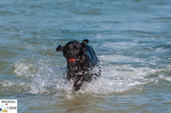 WWitt_DSC9004 (Nick Woods Photography) Tags: sea dog labrador dogplayingfetch dogfetchingball dogfetchingballfromsea dogplaying dogplayinginsea animal animalbehaviour dogbehaviour dogactionphoto doginaction dogrunning dogrunninginsea seawater splash splashing westwittering witterings thewitterings sussex